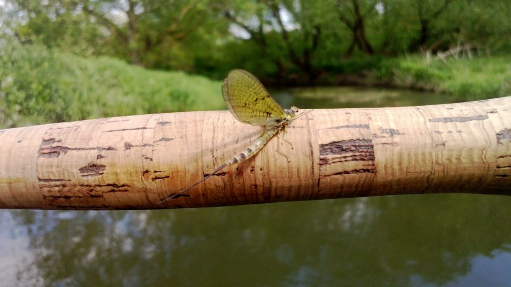 Mayfly sitting on the handle of a trout rod